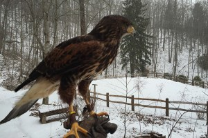 Apollo the Harriss Hawk - Parabuteo Unicinctus