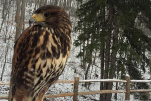 Apollo the Harriss Hawk - Parabuteo Unicinctus