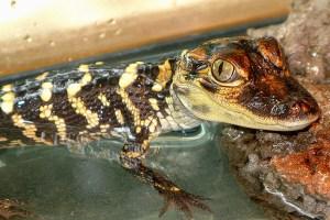 Beaufort the American Alligator - Alligator Mississippiensis