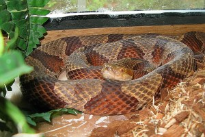 Penny the Copperhead - Agkistrodon contortrix