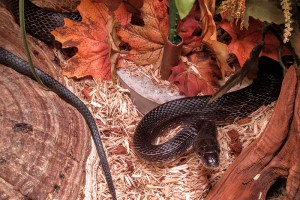 Oynx the Black Rat Snake - Pantherophis obsoletus