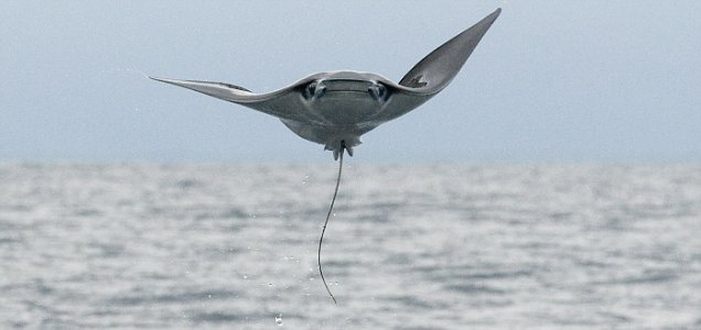 /////Must byline: Pics: Roland Seitre/solent///// THE AMAZING FLYING MANTA RAYS. These extraordinary photos could be mistaken for strange-looking birds, but these creatures are actually Manta Rays, leaping out of the sea a staggering three metres in the air. The plucky animals demonstrate their acrobatic skills by bursting out of the water. Once airbourne they even flap their impressive fins in what looks like an attempt to fly. Some even manage a summersault before plummeting back into the water with an impressive splash. Photographers Roland and Julia Seitre captured the bizarre spectacle off the Pacific coast of Central America. The married couple had sailed six miles out in the hope of catching sight of whales but were instead stunned to be treated to this extraordinary acrobatic display instead. SEE OUR COPY FOR THE FULL, EXTRAORDINARY STORY. Pictured: A ray glides through the air, zooming towards, camera Must byline: Pics: Roland Seitre/solent © Roland Seitre/solent UK +44 (0) 2380 458800 WEBSITE USAGE: £75 per image, unless written agreement already in place with you.