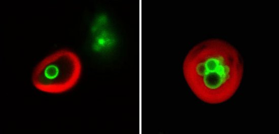 Image of  lipid droplets (green) enclosed within plant cell vacuoles (red-labeled membranes).