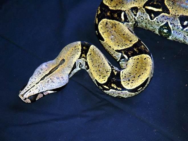 Boa c constrictor Peru adult female