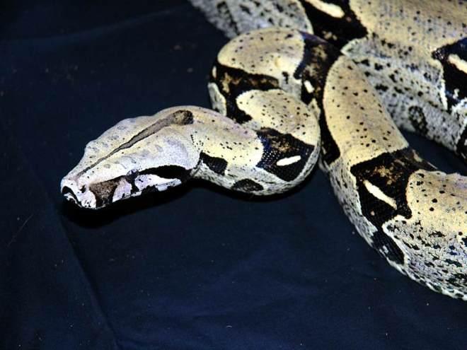 Boa c constrictor Peru adult male