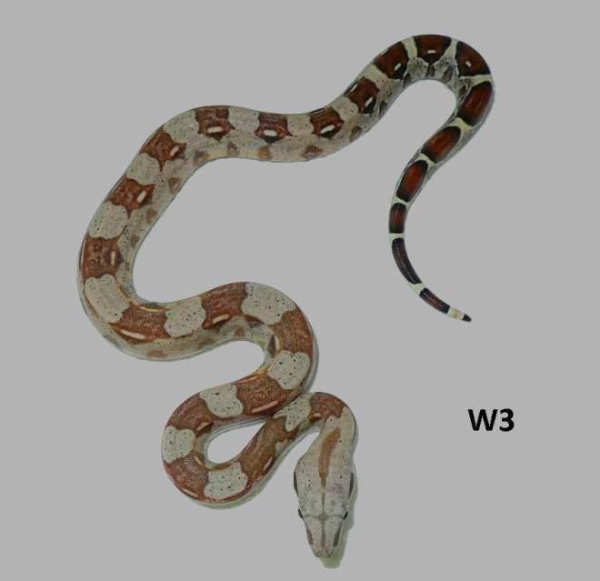 boa-c-imperator-kolumbien-hyperpastell-w3b