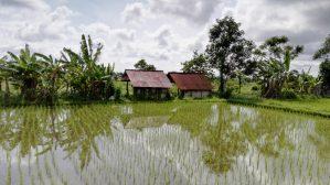 Ubud Rice Terraces Bali