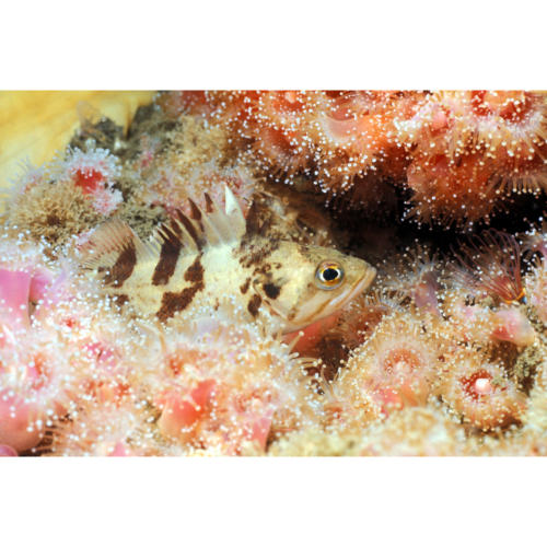 "Juvenile Calico Rockfish (Sebastes dalli) 4"" in length Seeks Protection Amongst Club Anemone (Corynactis californica), Platform Hilda (Decommissioned) 75 feet"