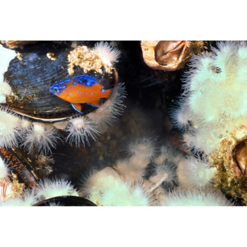 Juvenile Garibaldi (Hypsypops rubicundus), size of a dime, hides amongst mussels and anemone, brown blob is a Brooding Anemone (Epiactis prolifera), Platform Hondo, 30 feet30 feet