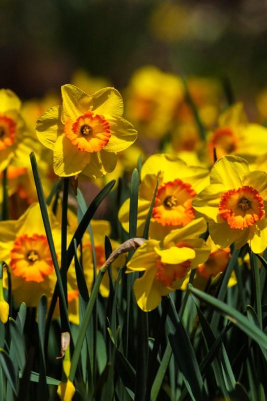 10084. Narcissus, Arkansas