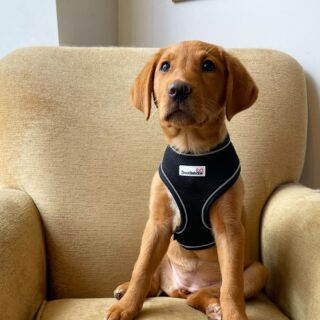How gorgeous does Ruby look in her new big girl harness from @doodlebone 🦮  We think she looks stunning 😍❤️
