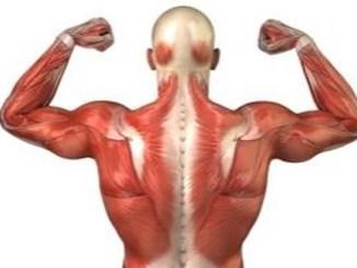 muscoli-funzionamento