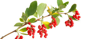 Berberine Supplements For Weight Loss