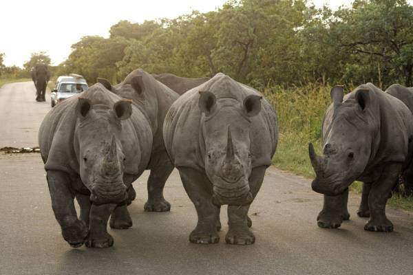 Breitmaulnashorn / White rhinoceros / Ceratotherium simum