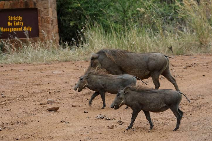 Warzenschwein / Phacochoerus africanus / Warthog