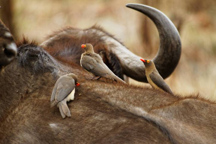 Rotschnabelmadenhacker / Red-billed Oxpecker / Buphagus erythrorhynchus
