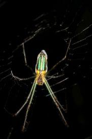 Radnetzspinnen / Orb-weaver spiders / Araneidae