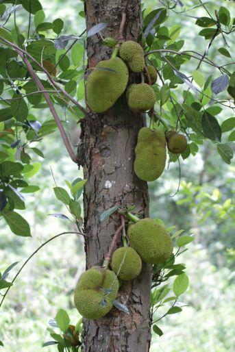 Durian / Durio zibethinus