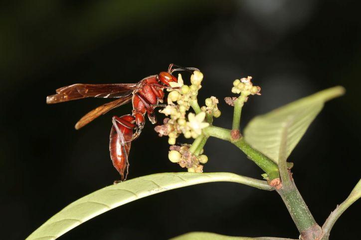 Faltenwespen / Wasp / Vespidae