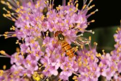 Episyrphus sp. auf Blüte, Fam. Schwebfliegen (Syrphidae)