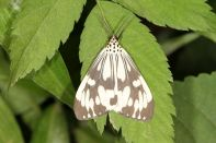 Marbled white moth / Nyctemera adversata