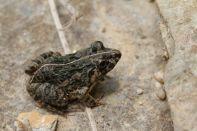 Froschlurche / Frogs / Anura
