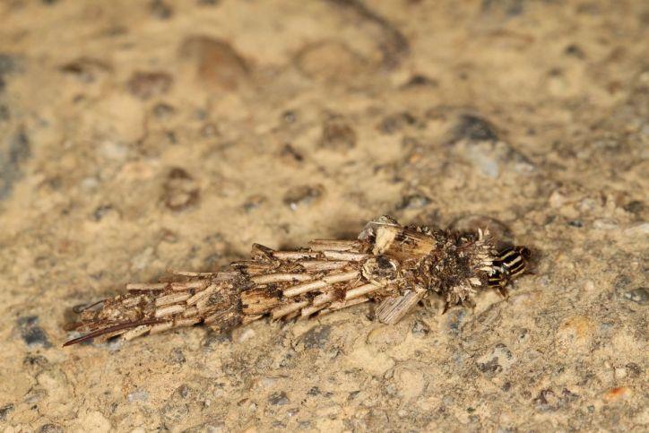 Köcherfliegen / Northern caddisflies / Limnephilidae
