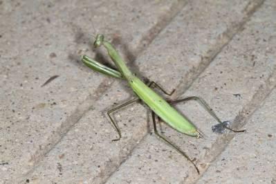 Gottesanbeterinnen, Fangheuschrecken / Praying mantis / Mantidae
