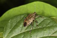 Marmorierte Baumwanze / Brown marmorated stink bug / Halyomorpha halys
