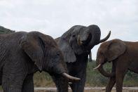 Afrikanischer Elefant / Savannah Elephant, Bush Elephant / Loxodonta africana