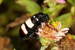 CMR Bean Beetle / Mylabris oculata
