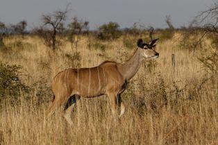 Kudu / Greater kudu / Tragelaphus strepsiceros