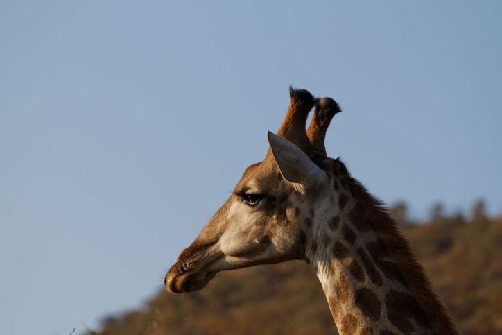 Giraffe / Giraffa camelopardalis