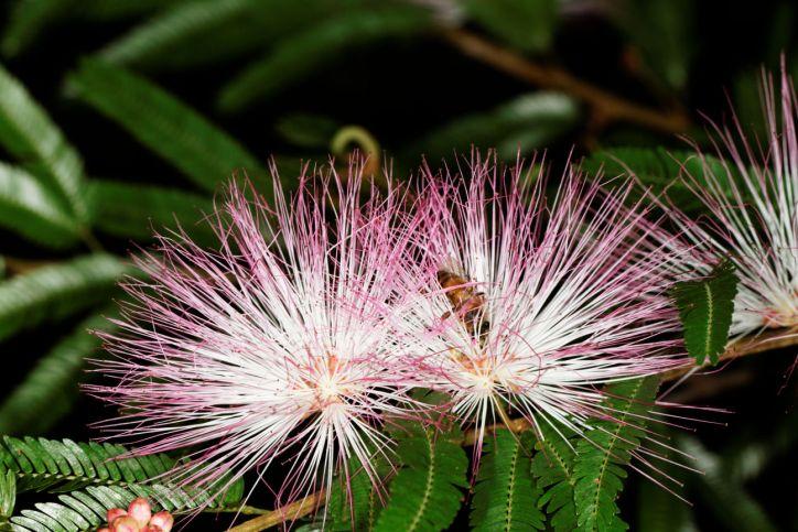 Puderquastenstrauch / Calliandra sp.
