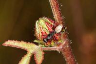 Camponotus detritus?