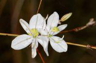 Chlorophytum saundersiae?