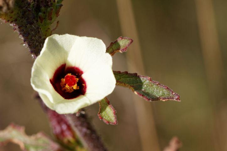 Roselle, Sabdariff-Eibisch, Sudan-Eibisch, Afrikanische Malve, Karkade / Roselle, Carcade / Hibiscus sabdariffa