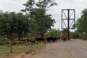 Kühe vor dem Punta Maria Gate