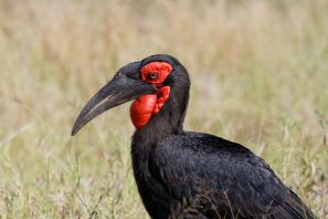 Südlicher Hornrabe / Southern Ground Hornbill / Bucorvus leadbeateri