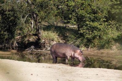Flusspferd, Nilpferd / Hippopotamus / Hippopotamus amphibius