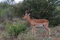 Impala, Schwarzfersenantilope / Aepyceros melampus