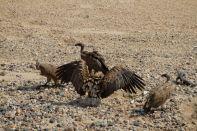 Weißrückengeier / White-backed vulture / Gyps africanus