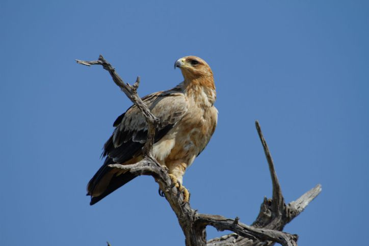 Habichtartige / Hawks, buzzards, eagles and vultures / Accipitridae