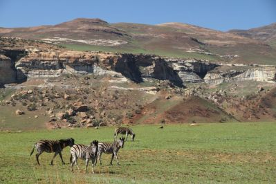 Steppenzebra / Plains zebra / Equus quagga