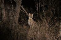 Serval im Scheinwerferlicht