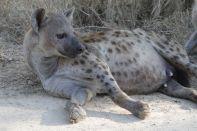 Fleckenhyäne / Spotted Hyena / Crocuta crocuta