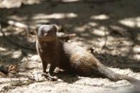 Schlankmanguste / Angolan Slender Mongoose / Galerella sanguinea