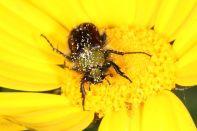 Käfer auf Kronenwucherblume