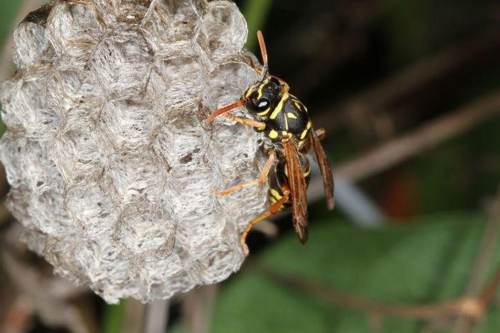 Gallische Feldwespe am Nest