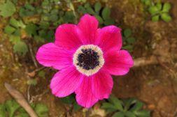 Pfauen-Anemone